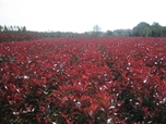 Photinia Super Red Robin